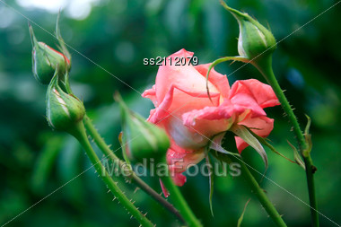 Pink Rose Flower With Buds And Early Dew Stock Photo