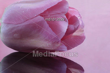 Pink Tulip Macro Close-up Studio Natural Light Drops Stock Photo