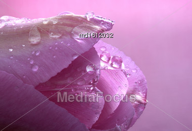 Pink Tulip Macro Close-up Studio Natural Light Drops Stock Photo