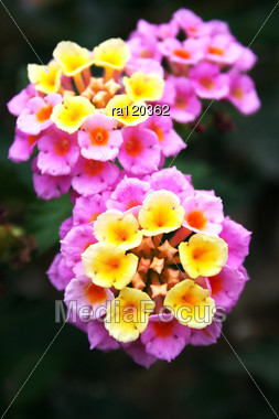 Pink And Yellow Lantana Flowers Close Up Picture Stock Photo