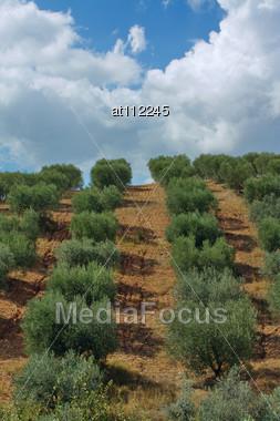 Planting Olive Trees Stock Photo