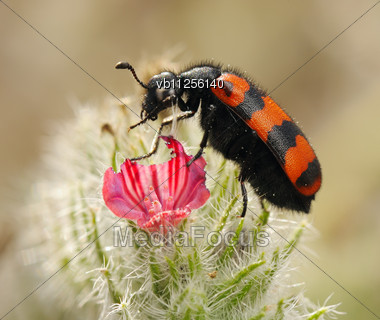 Stock Photo Poisonous Blister Beetles Bright Black Red - Image ...