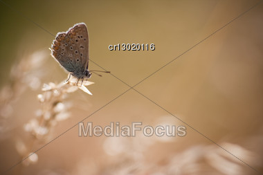 Polyommatus Icarus In The Morning Light Stock Photo