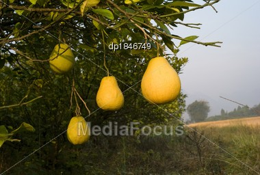 Pomelo Fruit Tree  Chi...