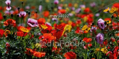 Poppy Background Stock Photo