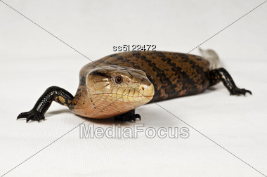 Portrait about blue tongue retile shot in the studio room. Stock Photo