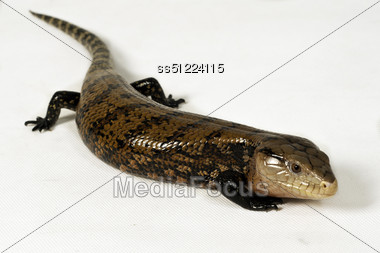 Portrait of a blue-tongue reptiles asia, who were playing in the studio. Stock Photo