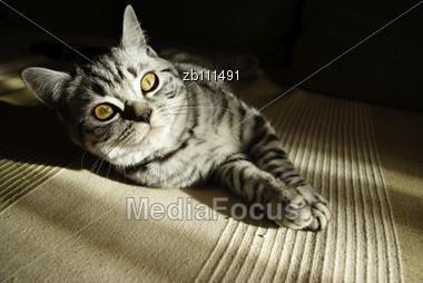 Portrait Of British Short Hair Kitten Lieing At Sofa On Sun Stock Photo
