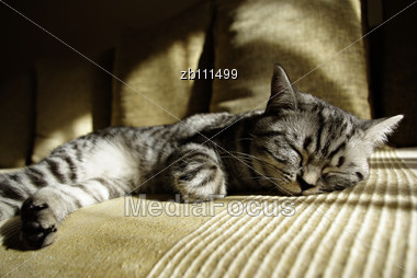 Portrait Of British Short Hair Kitten Lieing At Sofa On Sun Stock Photo