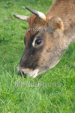 Portrait Of Jersey Cow On Pasture, West Coast, New Zealand Stock Photo