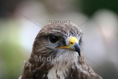 portrait of a ferruginious hawk Stock Photo