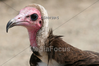 portrait of a hooded vulture Stock Photo