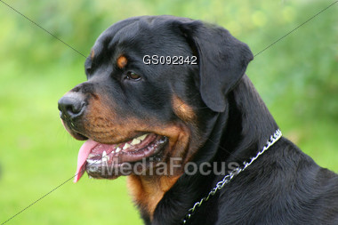 how to cut a rottweiler tail off
