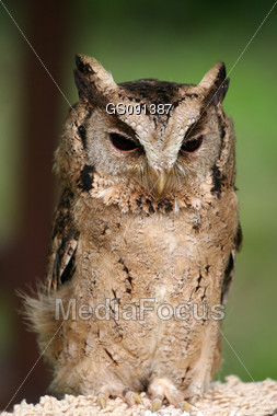 portrait of a tawny owl Stock Photo