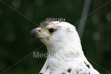 portrait of an african sea eagle Stock Photo