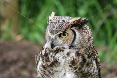 portrait of an eagle-owl Stock Photo