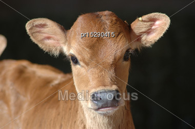 Portrait Of Jersey Calf Stock Photo