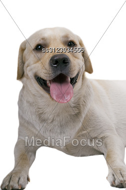 Portrait Of The White Caucasian Sheep Dog Stock Photo