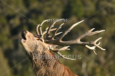 Portrait Of Red Deer Stag Roaring, West Coast, South Island, New Zealand Stock Photo