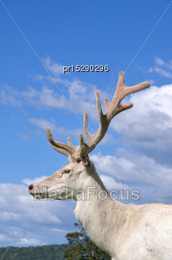 Portrait Of White Version Of Red Deer Stag In Velvet, West Coast, South Island, New Zealand Stock Photo