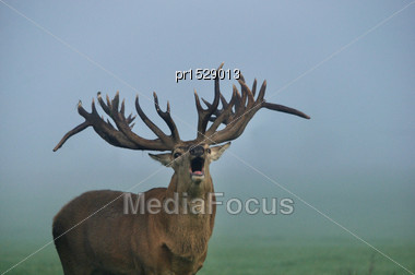 Portrait Of World Class Red Deer Stag In Hard Antler Roaring During Mating Season, West Coast, South Island, New Zealand Stock Photo