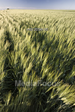 Prairie Crop With Weeds Saskatchewan Canada Foxglove Stock Photo