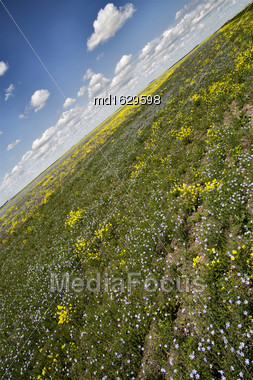 Prairie Flowers Canada Canola And Flax Purple And Yellow Stock Photo