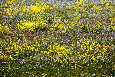 Prairie Flowers Farmers Field Flax And Canola Stock Photo