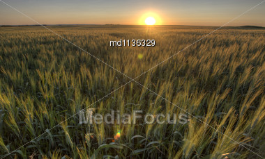 Prairie Grass Crop Sunset Saskatchewan Canada Wheat Stock Photo