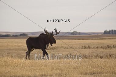 Prairie Moose In Field In Saskatchewan Canada Stock Photo