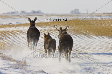 Prairie Moose Saskatchewan Canada Winter Running Stock Photo
