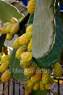 Prickly Pear, Cactus Fruit, Fresh On Cactus Tree Stock Photo