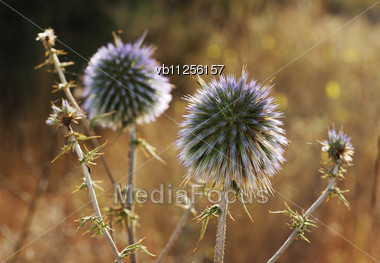 Prickly Plant, Begin To Bloom In May, Israel Stock Photo