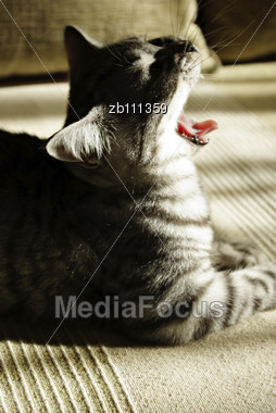 Profile Portrait Of British Short Hair Kitten Lieing On Sofa And Yawning At Sun Stock Photo