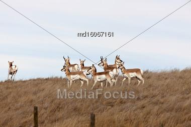 Pronghorn Antelope In Field In Alberta Canada Stock Photo