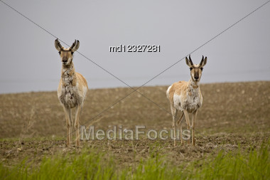 Pronghorn Antelope Prairie Field Saskatchewan Canada Stare Stock Photo
