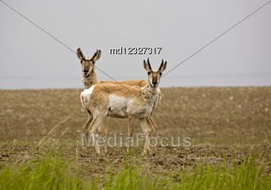 Pronghorn Antelope Prairie Field Saskatchewan Canada Stare Stock Photo