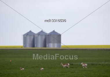 Pronghorn Antelope In Prairie Saskatchewan Canada Field Stock Photo