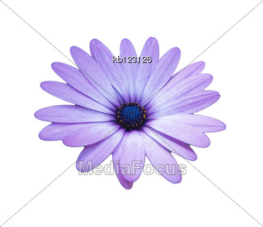 Purple African Daisy On White Background Isolated Stock Photo