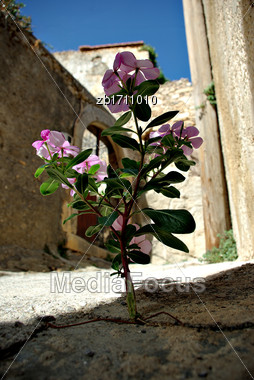 Purple Flower Growing From Crack At Street At Sunny Summer Day Stock Photo