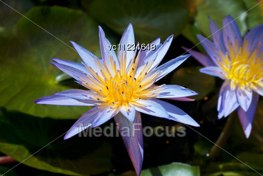 Purple Water Lilies On Green Leaves Background Stock Photo