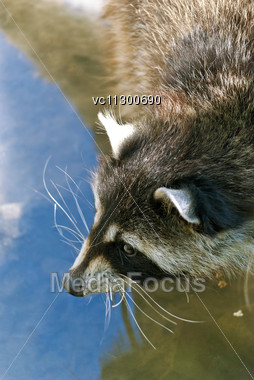 Raccoon, Medium-sized Mammal Native To North America, Drinking Water From The River Stock Photo