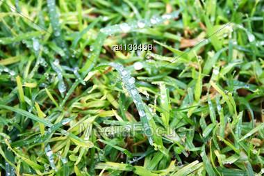 Rain Drops On Green Grass. Stock Photo