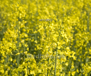 Rapeseed Field In Summer Stock Photo