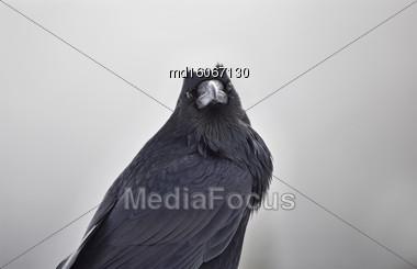 Raven In Winter Rocky Mountains Alberta Canada Stock Photo