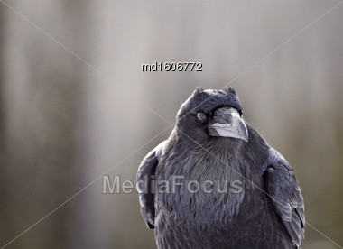 Raven In Winter Rocky Mountains Alberta Canada Stock Photo