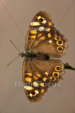 Rear Of Wild Brown Grey Orange Butterfly On A Brown Branch In The Bush Stock Photo