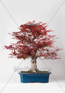 Red Bonsai Stock Photo