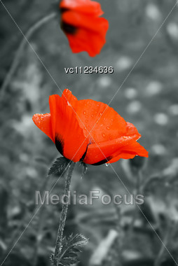 Red Colorful Poppy After The Rain, Grey Background Stock Photo