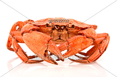Red Crab On White Background With Reflection Stock Photo